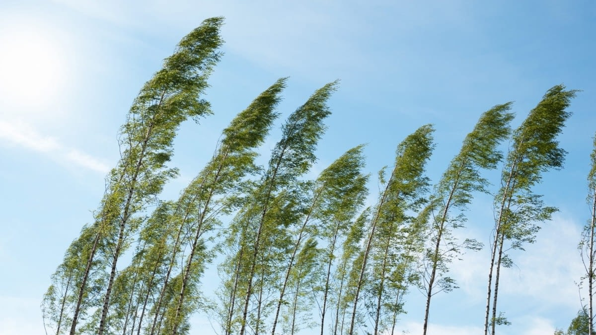 A photograph of the tops of trees being blown by wind.